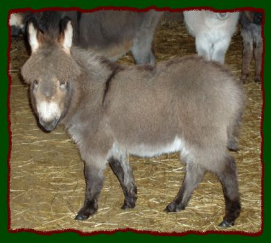 Perc, Donkey For Sale
