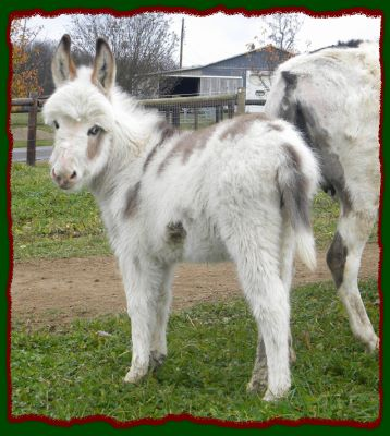 Shorecrests Piper, Spotted Miniature Donkey For Sale