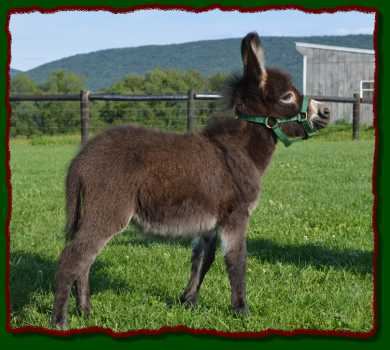 Shorecrests Lucky, miniature donkey for sale at Shorecrests  Farm
