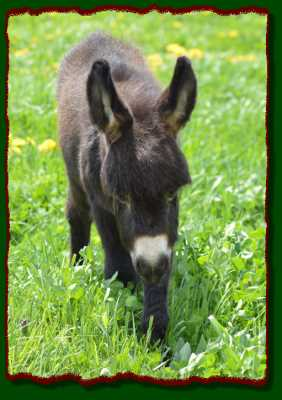 Miniature donkey for sale!