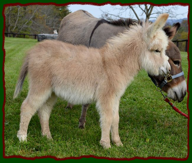 Shorecrest Farm's Miniature Donkeys For Sale in Linden, Pennsylvania