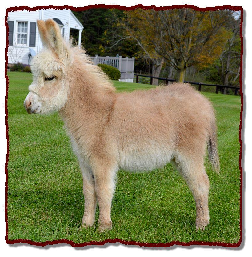 Shorecrest Farm's Miniature Donkeys For Sale in Linden